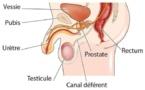 Tout savoir sur la prostate
